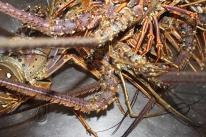 Lobster dinner at 6 pm