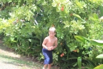 Akee fruit in the garden
