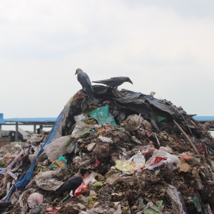 Birds, but usually cows, buffalos, dogs and pigs all feed on trash